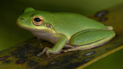 Tree frog (Jeremy Cohen, University of Wisconsin-Madison)