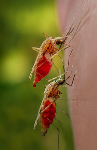 Anopheles gambiae mosquito (credit: CDC)