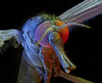 A female Anopheles gambia mosquito seen at 125x magnification (© David Scharf/Science Faction/Corbis)