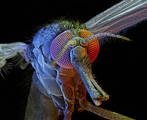 A female Anopheles gambiae mosquito seen at 125x magnification (© David Scharf/Science Faction/Corbis)