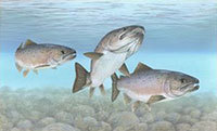Atlantic salmon (Courtesy Timothy Knepp, USFWS)
