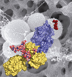 Methicillin-resistant Staphylococcus aureus (MRSA) is shown in the background (in gray). This figure depicts domains and key ligands of the penicillin binding protein 2a — a key resistance enzyme. The red molecule on the right is ceftaroline, a drug recently approved by the FDA.