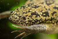 Xenopus laevis, or African clawed frog