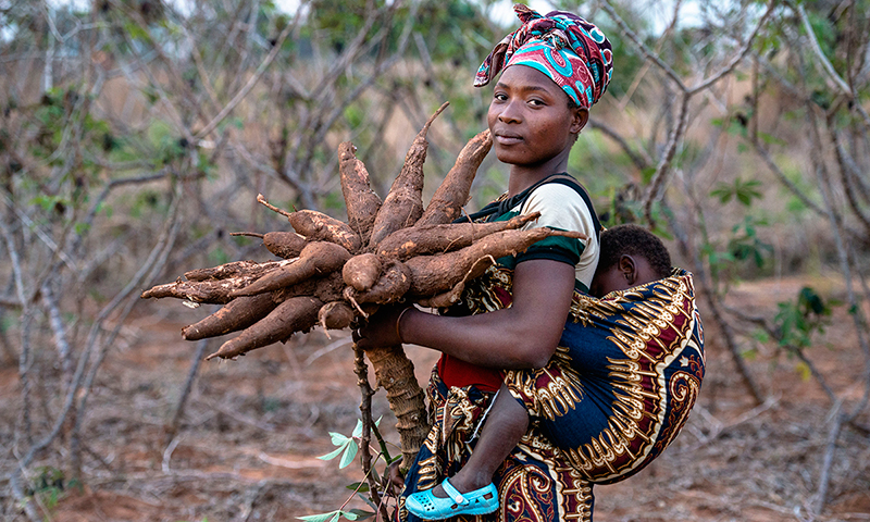 DADTCO cassava farming for ND-GAIN