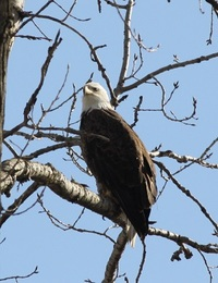 Bald eagle at St. Patrick's County Park