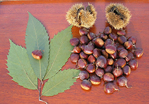 American chestnut nuts with burrs and leaves