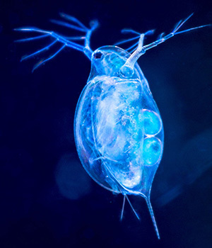 Scientists Reveal New And Improved Genome Sequence Of Daphnia Pulex