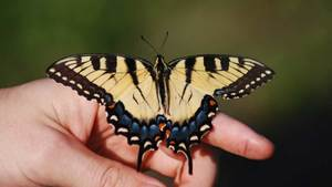 Eastern Tiger Swallowtail Butterfly Feature. Photo credit Sean Ryan.