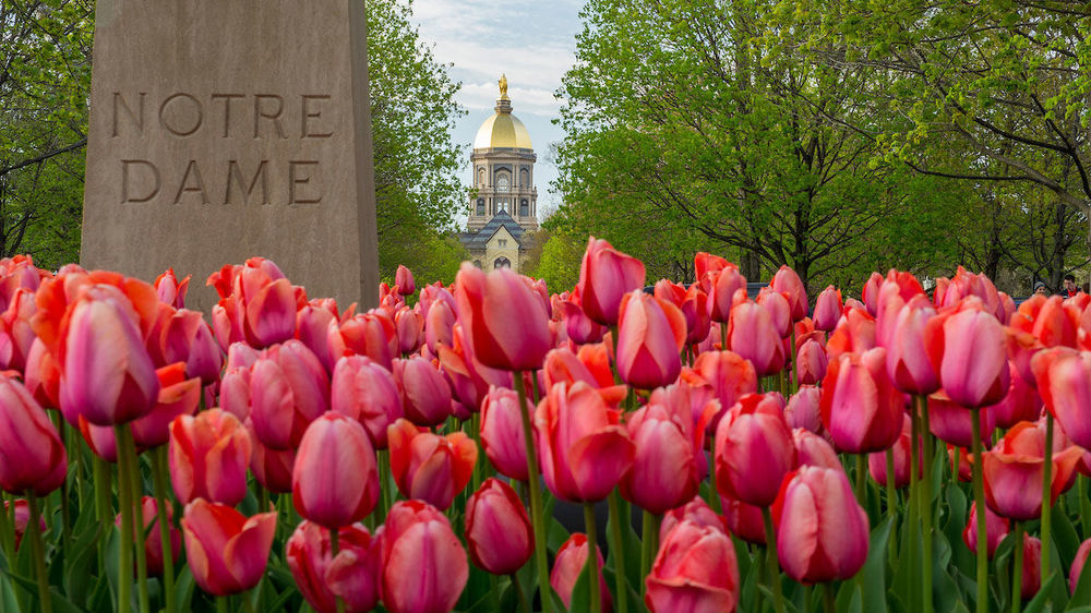 Tulips with Golden Dome in the background. Photo by Barbara Johnston/University of Notre Dame.