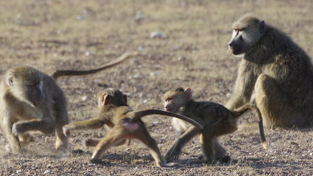 Baboons playing