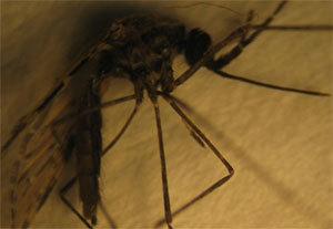 New mosquito