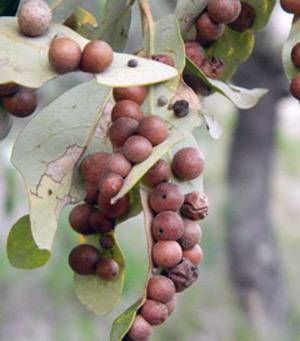 Leaf galls of B. treatae